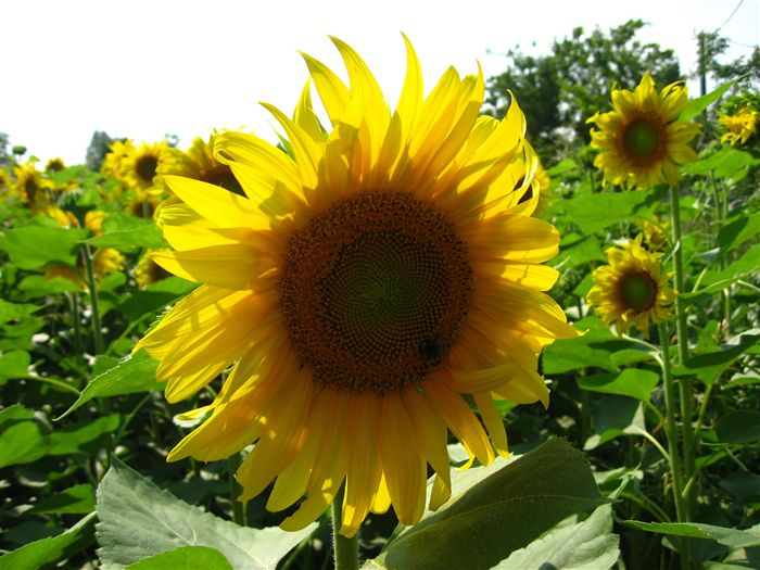 sunflower od 17 beautiful pictures of sunflowers by: i needed a really god sunflower picture and you have such perfect and beautiful picture in your blog to illustrate that.