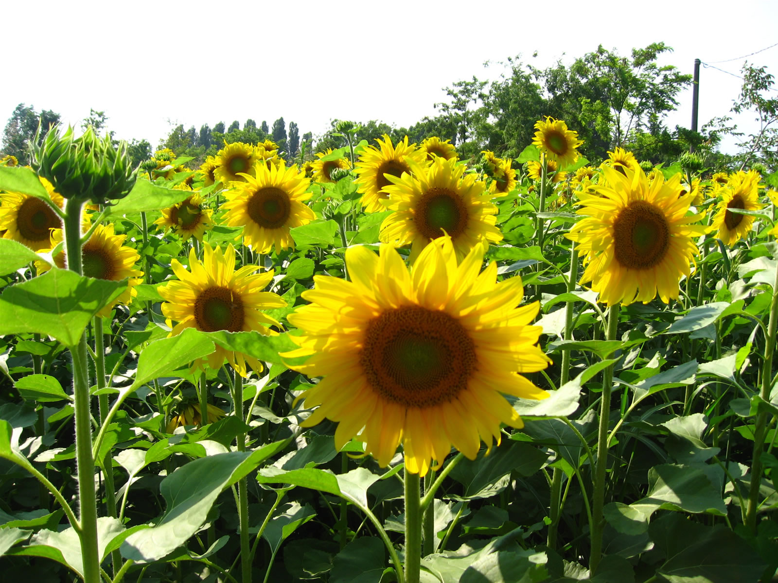 Sunflower Wallpaper Photo : download Full High resolution