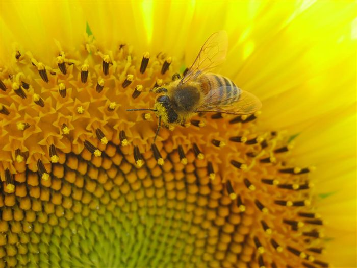 Honey Bee and sunflower