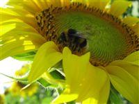 HumbleBee absorbing Sunflower pollen