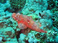 Scorpion fish wallpaper