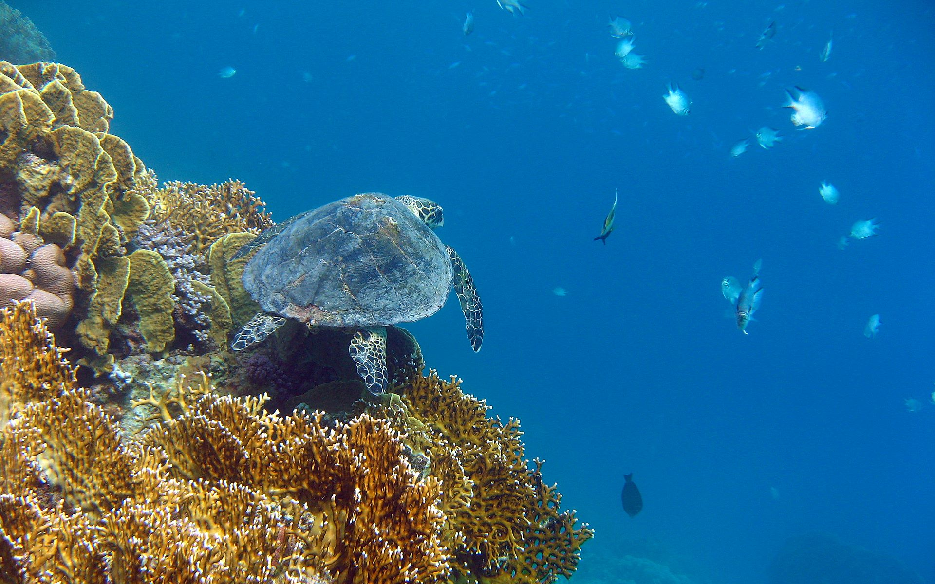 Simple Wallpaper High Resolution Sea - seaturtle-wallpaper-1920x1200-180  Graphic_899817.jpg