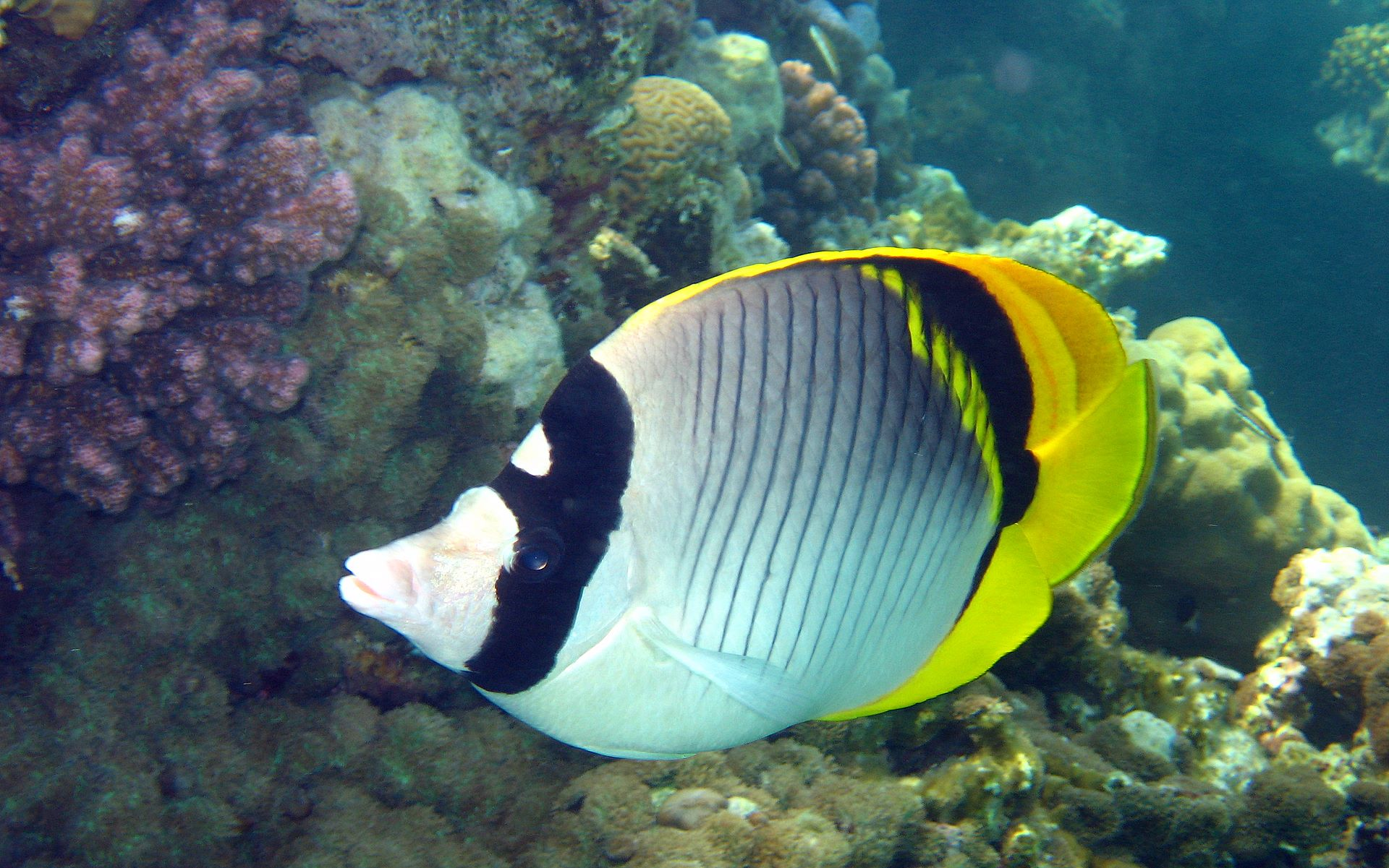 Photo 6 underwater butterflyfish wallpaper 1920x1200 247