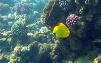 yellow butterfly fish wallpaper