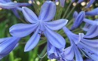 Agapanthus Flower Wallpaper Wide