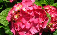 Ortensia (Hydrangea Hortensia) Flower Wallpaper Widescreen