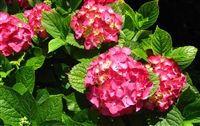 Ortensia Flower Wallpaper Widescreen (Hydrangea Hortensia)