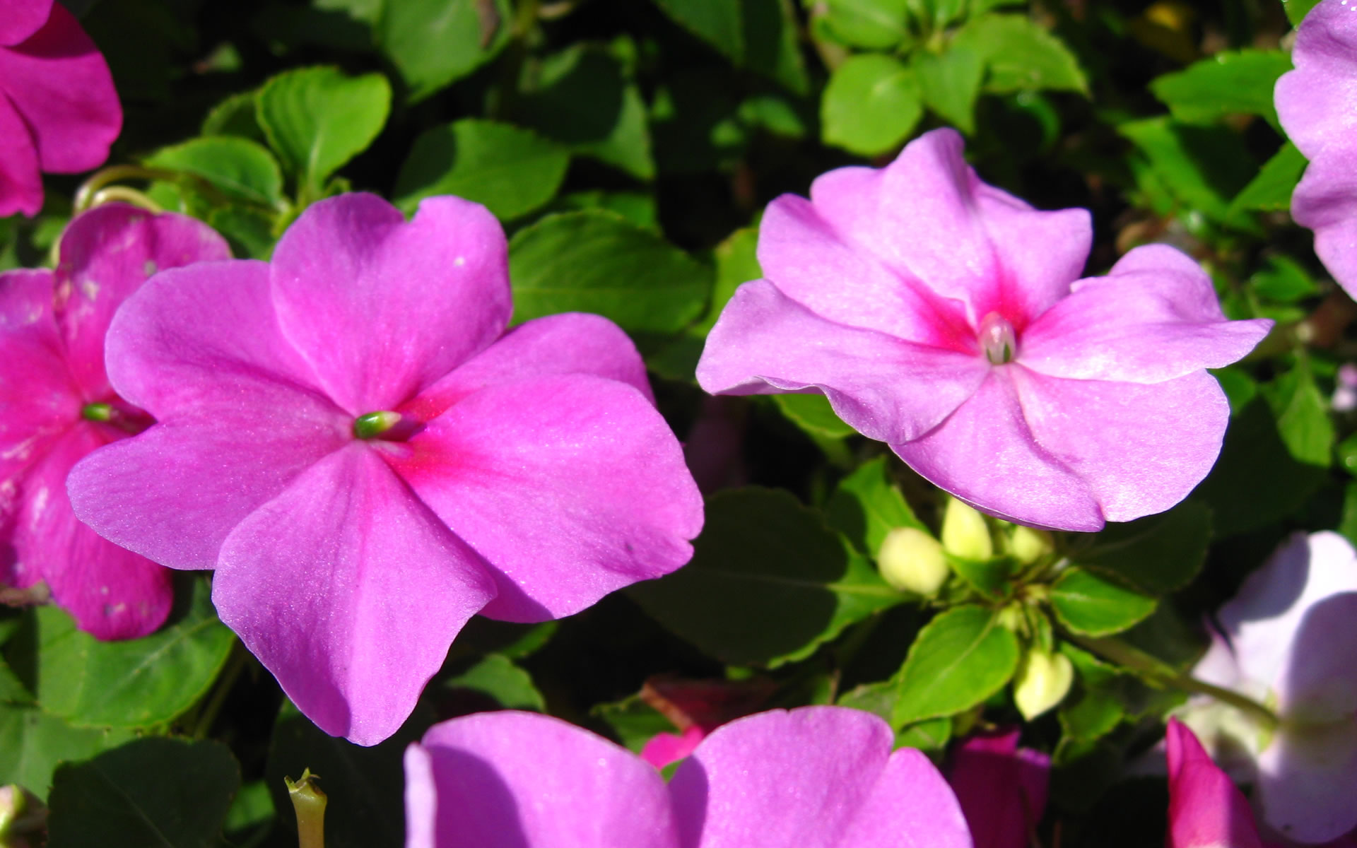 Impatiens flowers the best top flowers wallpaper for What are the best flowers