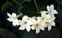 Jasmine Flower Wallpaper Wide