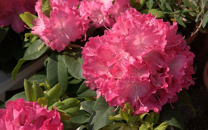 photo Rhododendron