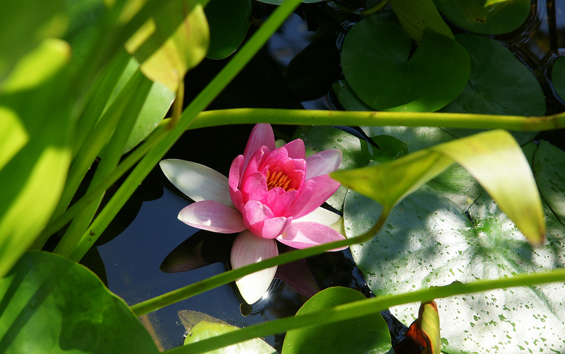 water lily lotus flower