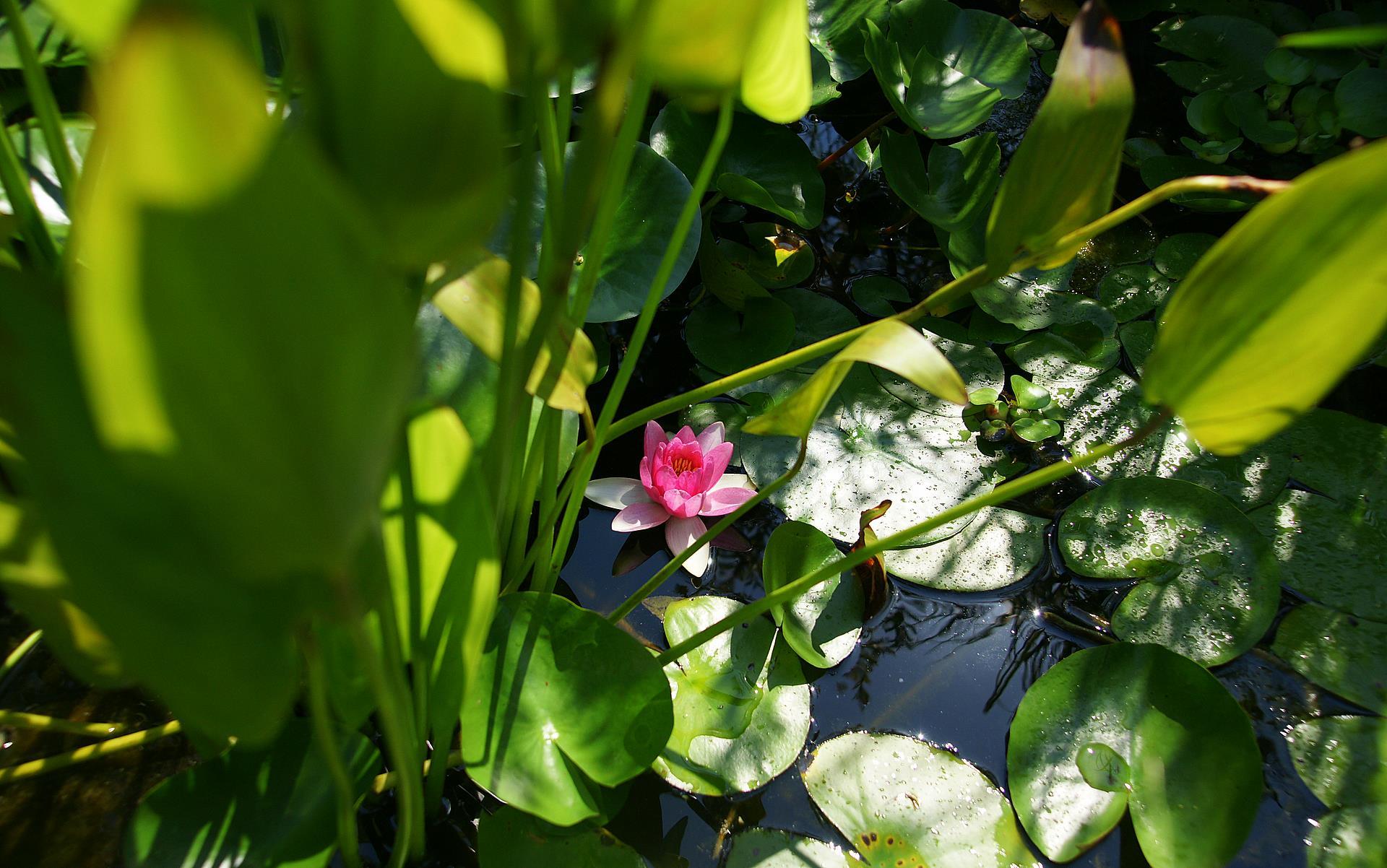 lotus flower 1440x900