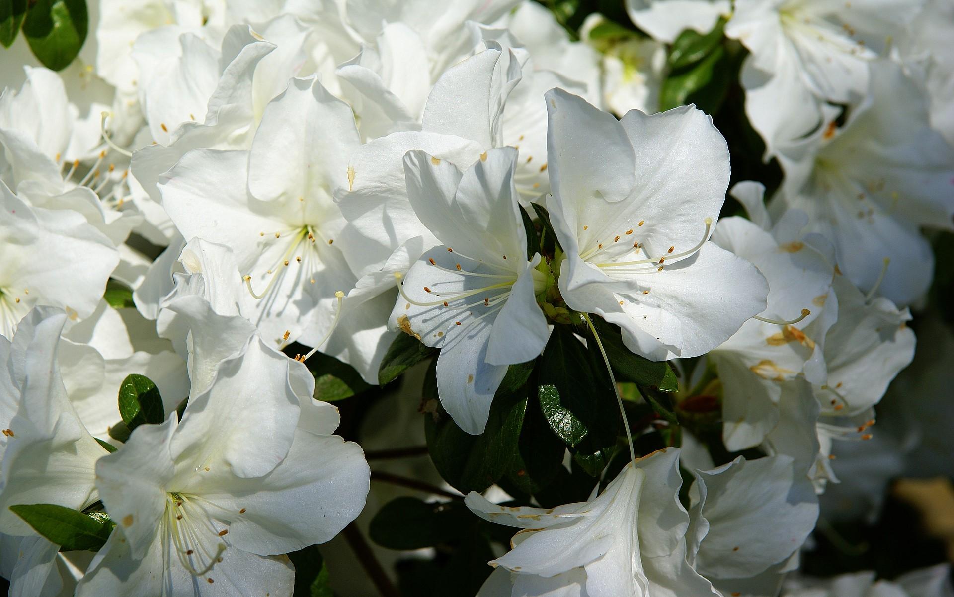 White azalea wallpaper mightylinksfo