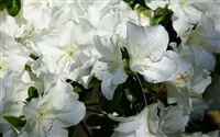White azalea wallpaper