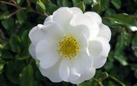 White wild rose Flower Wallpaper Wide