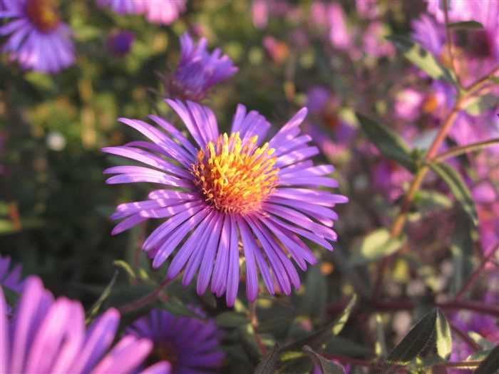 Aster Flowers Photos