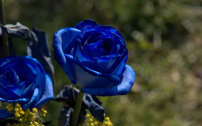 Blue Roses photos and wallpaper