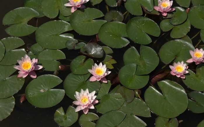Water lilies wallpaper, Nymphea high resolution, water lily wallpaper