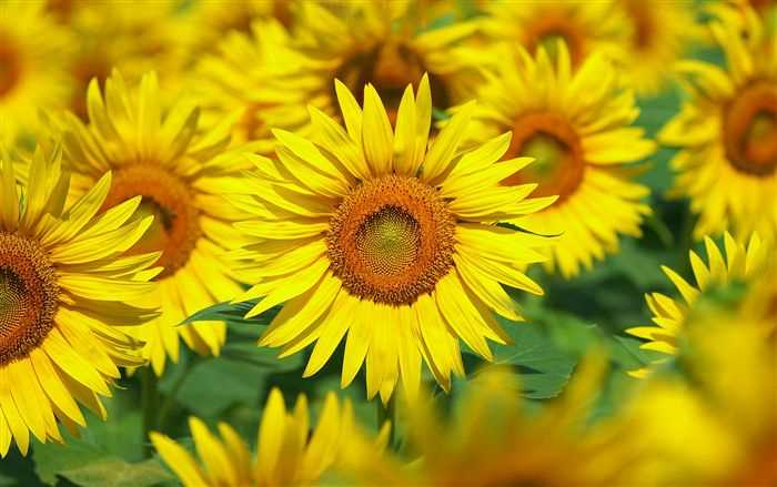 Sunflower Photo Free - high resolution pictures wallpaper